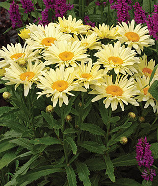Shasta Daisy, Banana Cream PPAF, , large